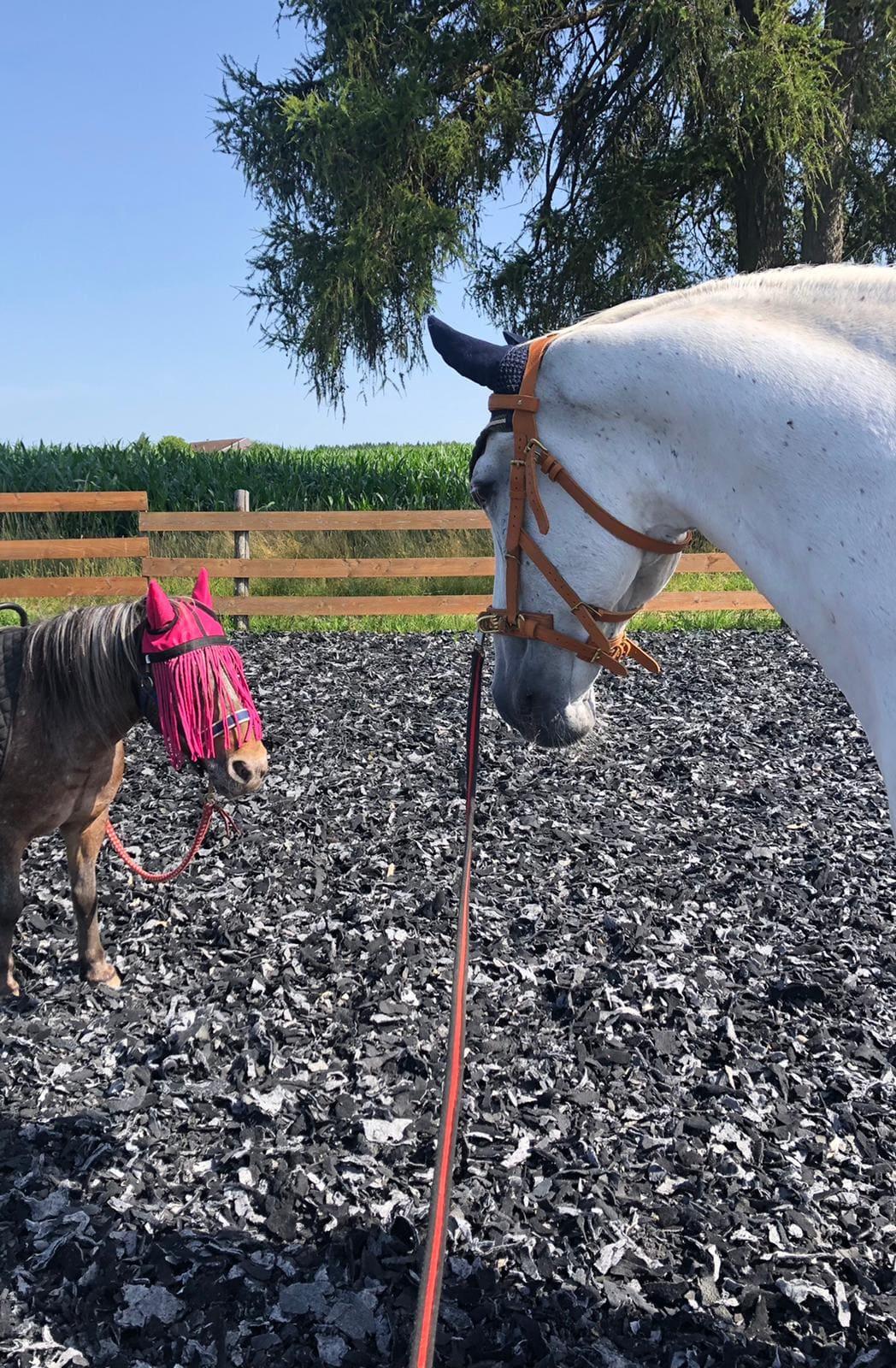 moehrchengeber-pferde in not